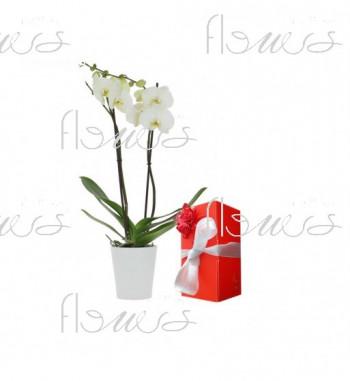 Orchidée Macaron flowers maroc